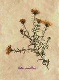 Herbier de Michaelmas-marguerite européenne Photographie stock