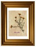 Herbier de Michaelmas-marguerite européenne Image stock