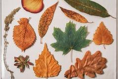 Herbier des feuilles sèches du chêne, du bouleau, de l'érable, du saule, du tremble et de l'absinthe photographie stock
