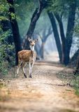 Spotted deer. Herbivore beautiful background. Female Stock Images