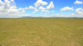 Herbivore dieren die in savanne in Afrika weiden stock footage