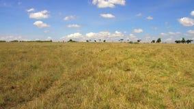 Herbivore dieren die in savanne in Afrika weiden stock video