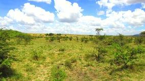 Herbivore dieren in savanne in Afrika stock footage