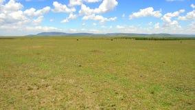 Herbivore dieren in savanne in Afrika stock videobeelden