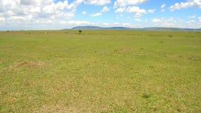 Herbivore dieren in savanne in Afrika stock video