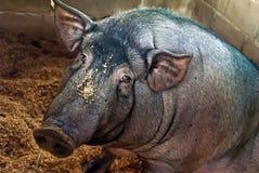 Herbivore un porc chétif Images stock