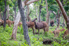 Herbivore world. Spotted deers, sambars and bisons in a single frame Royalty Free Stock Photos