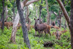 Herbivores. Spotted deers, sambars and bisons in a single frame Royalty Free Stock Photo