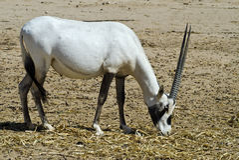 Herbivorous antelope oryx (Oryx leucoryx) Royalty Free Stock Photography
