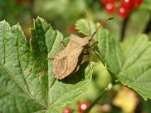 Coreus marginatus insect. Herbivorous on red currant leaf Royalty Free Stock Images