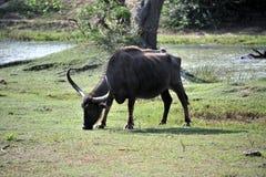 Herbivorous wild ox Stock Image