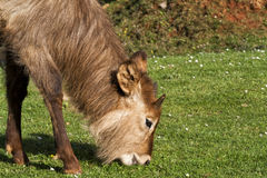 Herbivorous. A young herbivore grazes in a meadow Stock Photo