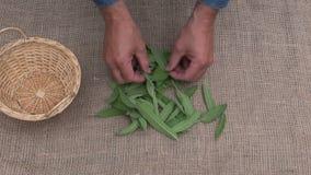 Herborista del jardinero del hombre que prepara las hierbas sabias frescas metrajes