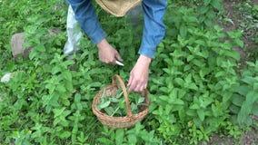 Herborista del jardinero que cosecha la hierba de la menta fresca metrajes