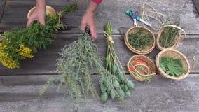 Herborista del jardinero que se prepara para secar las diversas hierbas y especias médicas metrajes