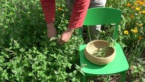 Herborista que escoge bálsamo de limón médico fresco en jardín del verano