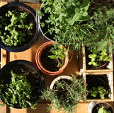 Herbs. A pot of home grown organic parsley and other kinds of herbs on a veranda stock image