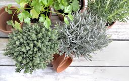 Herbs aromatic potted  on a white table Stock Photos