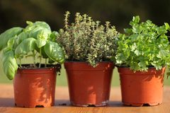Herbs. Basil, thyme and parsley in flower pots royalty free stock image