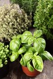 Herbs. Basil, thyme, rosemary and oregano in flower pots royalty free stock photography