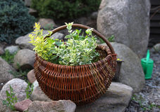 Herbs in basket Stock Photos