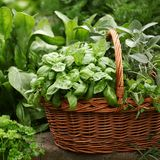 Herbs. Basket with fresh herbs in herb garden royalty free stock images