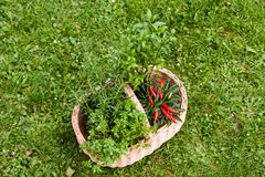 Herbs in a basket Stock Photography