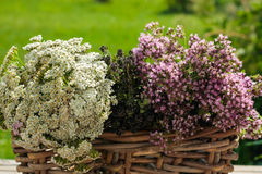 Herbs in the basket Stock Photography