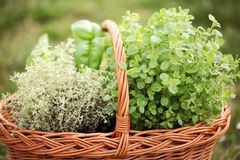 Herbs. Basket with thyme, basil and oregano in the garden stock photography