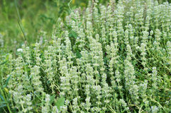Herbs blooming thyme Royalty Free Stock Photo