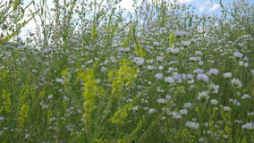 Herbs Bush And Flowers. Pan shot to a spring bush of wild tiny white flowers stock video