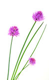 Herbs chives flowers Royalty Free Stock Images