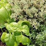 Herbs. Close-up of basil, thyme and oregano in the garden stock photography