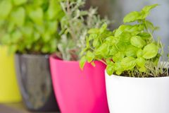 Herbs. Closeup shot with herbs in color flowerpots royalty free stock photo