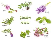 Herbs. Herbs collection on white. Herbs - garden isolated on white background stock images
