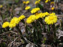 Herbs - coltsfoot flower family. Fresh coltsfoot flowers in the spring. Great herbs for a healthy tea Royalty Free Stock Images