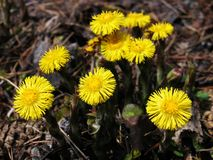 Herbs - coltsfoot flower family Stock Photography