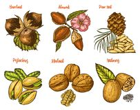Herbs, condiments and spices. almond and walnut, pine nut and hazelnut, seeds for the menu. Organic plants or vegetarian. Vegetables. engraved hand drawn in old Stock Images