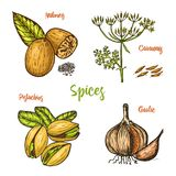 Herbs, condiments and spices. nutmeg and pistachios and garlic, caraway and seeds for the menu. Organic plants or. Vegetarian vegetables. engraved hand drawn in Royalty Free Stock Photo