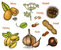 Herbs, condiments and spices. nutmeg and pistachios and garlic, caraway and seeds for the menu. Organic plants or. Vegetarian vegetables. engraved hand drawn in Stock Images