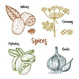 Herbs, condiments and spices. nutmeg and pistachios. And garlic, caraway and seeds for the menu. Organic plants or vegetarian vegetables. engraved hand drawn in Stock Photography