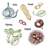 Herbs, condiments and spices. pistachios and garlic, peanut. And chestnut, seeds for the menu. Organic plants or vegetarian vegetables. engraved hand drawn in Stock Photography