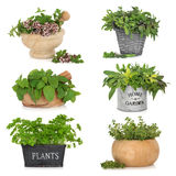 Herbs in Containers Stock Photo