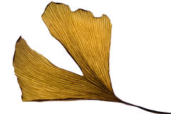 Herbs - dried ginkgo biloba leaf. Isolated on white Stock Image