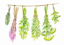 Herbs are dried on a string. Watercolor summer illustration. Isolated on white royalty free illustration