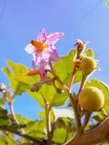 Eggplant tree. Herbs on blue sky background Royalty Free Stock Photo