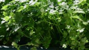 Herbs in flower box. View on flower box on windowsill. 4K.  stock footage