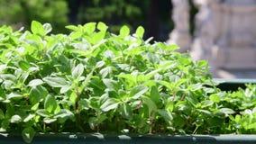 Herbs in flower box. View on flower box on windowsill. 4K.  stock video footage