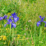 herbs and flowers of iris Royalty Free Stock Images
