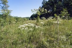 Herbs in the Forest Glade. Herbs in a forest glade, forest and blue sky on a summer day Royalty Free Stock Image